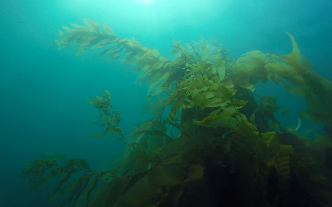 New SDSU Study Examines Role of Sea Urchins on California Kelp