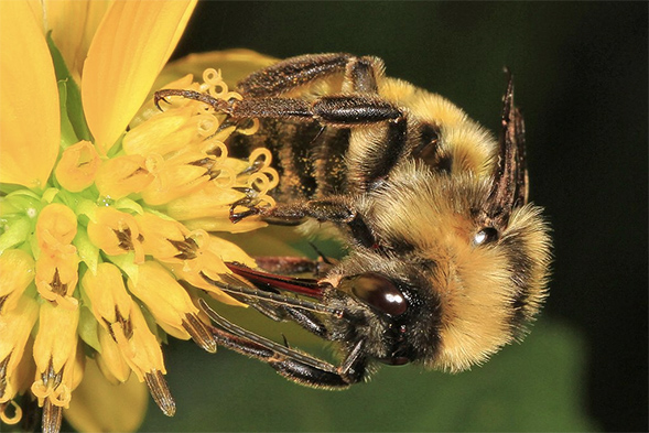 Close-up of Bumble Bee gathering pollen from flower.