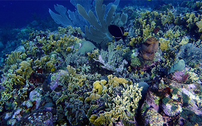 Corals Face Threat from Tiny Enemy
