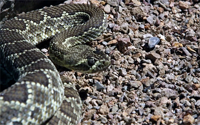 Hot or Cold, Venomous Rattlesnakes Still Quick to Strike