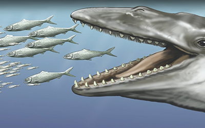 Ancient Baleen Whales Had a Mouthful