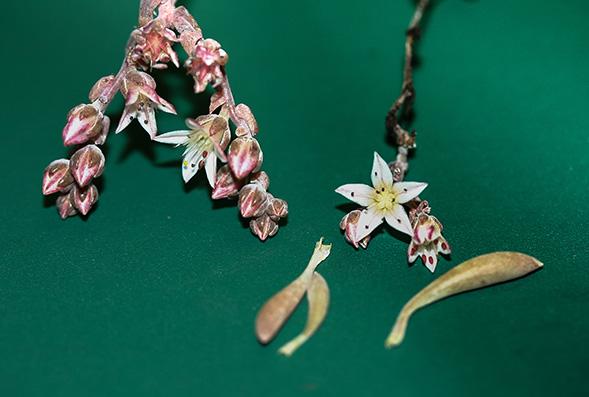 rare species of succulent plant